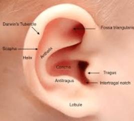 kulak anatomisi